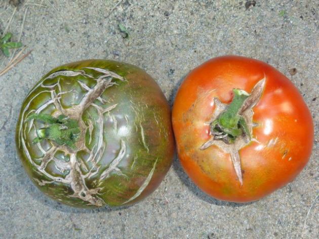 Tomato top